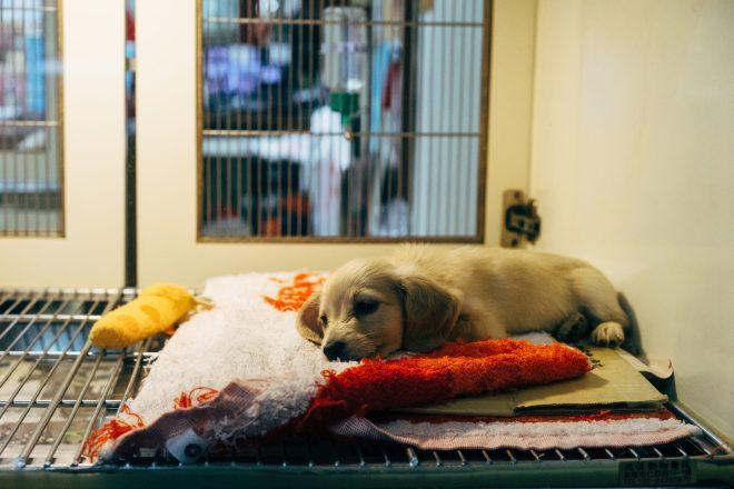 My dog has had cruciate surgery…when should I start Rehab? -